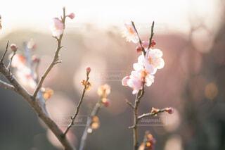 梅の花の写真・画像素材[4162846]
