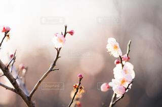 梅の花の写真・画像素材[4162844]