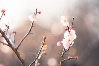 梅の花の写真・画像素材[4162847]