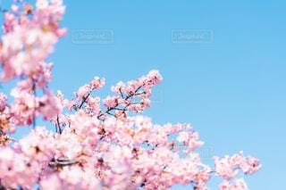 河津桜の写真・画像素材[4179891]