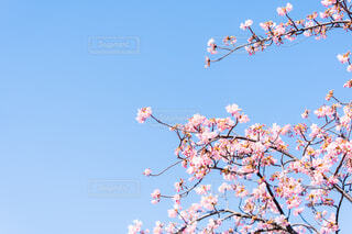 河津桜の写真・画像素材[4179894]