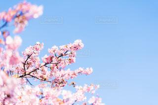 河津桜の写真・画像素材[4179900]