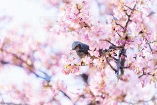 河津桜の写真・画像素材[4179901]