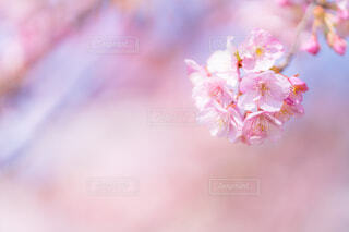 河津桜の写真・画像素材[4179902]