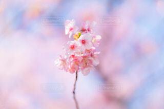 河津桜の写真・画像素材[4179904]