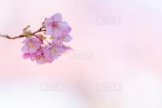 河津桜の写真・画像素材[4179903]