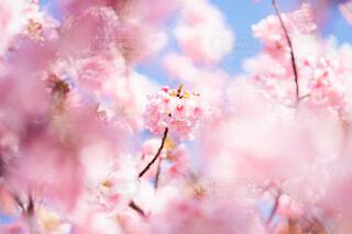 河津桜の写真・画像素材[4179906]