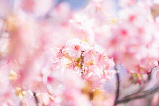 河津桜の写真・画像素材[4179905]