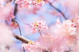 河津桜の写真・画像素材[4179909]