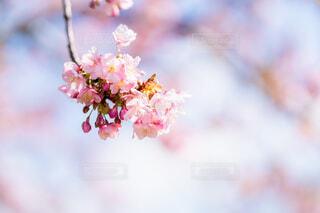 河津桜の写真・画像素材[4179907]