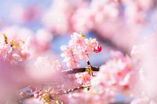 河津桜の写真・画像素材[4179910]