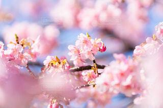 河津桜の写真・画像素材[4179908]