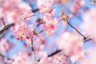 河津桜の写真・画像素材[4179914]
