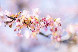 河津桜の写真・画像素材[4179911]