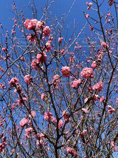 春の訪れを告げる梅の写真・画像素材[4040037]