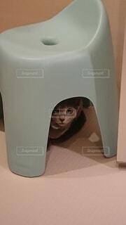 かくれんぼする猫の写真・画像素材[4040440]