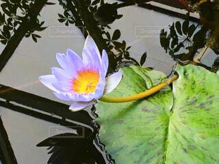 紫色の蓮の花の写真・画像素材[4042951]