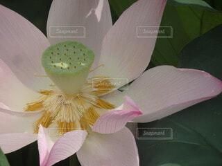 蓮の花の写真・画像素材[4059072]