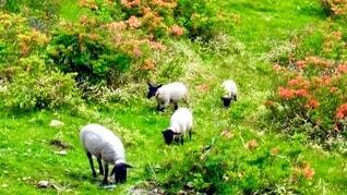草を食べる羊の写真・画像素材[4052545]