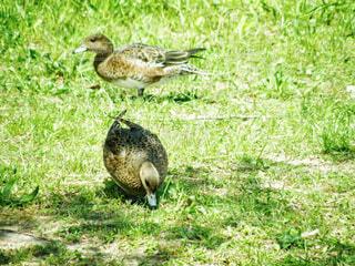 草で覆われた野原の上に立っている鳥の写真・画像素材[4329336]