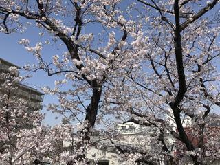 綺麗な桜の写真・画像素材[4280363]