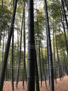 竹の写真・画像素材[4051076]