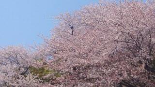満開の桜の写真・画像素材[4052574]