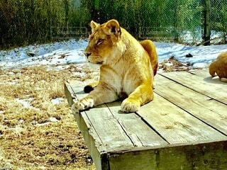 ライオンの写真・画像素材[4057741]