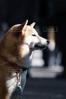 目を細める柴犬の写真・画像素材[4057179]
