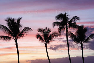 Magic hour Palm treeの写真・画像素材[4062497]