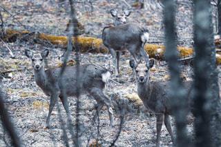 ファミリー鹿の写真・画像素材[4306001]