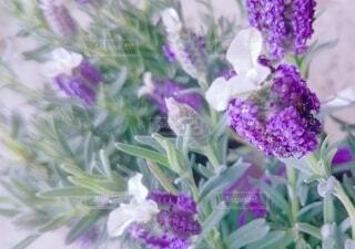 鮮やかなお庭のラベンダーの写真・画像素材[4057206]