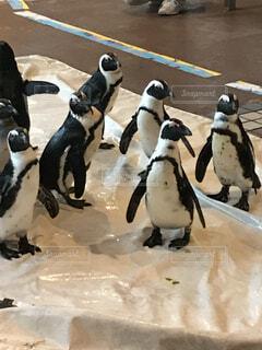 ペンギンの写真・画像素材[4165555]