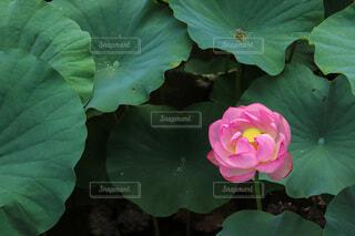 蓮池に咲く大賀ハスの写真・画像素材[4636438]