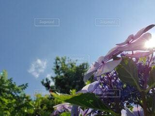 紫陽花の写真・画像素材[4066790]