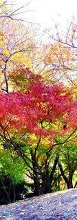 そびえ立つ楓(秋)の写真・画像素材[4075331]