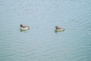 池で泳ぐ鴨の写真・画像素材[4277286]