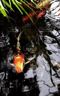 魚の写真・画像素材[174410]