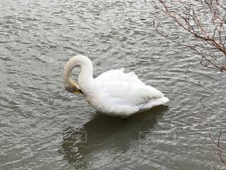水の上で毛づくろいする白鳥の写真・画像素材[4320457]