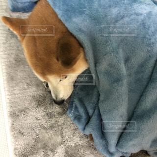 寒がりな犬の写真・画像素材[4080439]