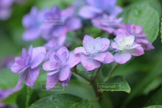 紫陽花の写真・画像素材[4413442]