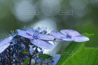 紫陽花の写真・画像素材[4413450]