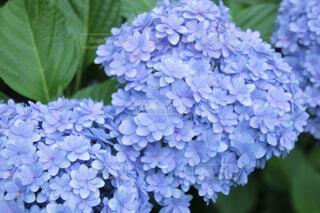 紫陽花の写真・画像素材[4413455]