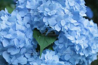 紫陽花の写真・画像素材[4413453]