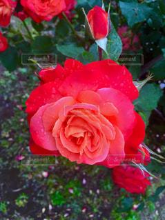 花の写真・画像素材[172241]