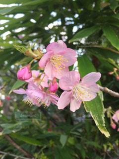 桜 - No.356268