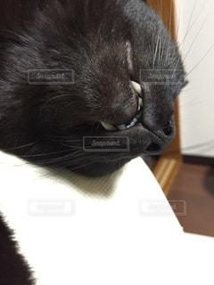 猫のアップの写真・画像素材[1256414]