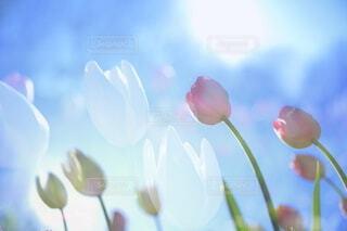 青空へのびるチューリップ(多重露光撮影)の写真・画像素材[4081383]