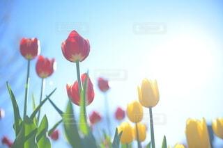 青空に向かって伸びるビタミンカラーのチューリップの写真・画像素材[4081381]