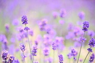一面紫色のラベンダー畑の写真・画像素材[4094698]